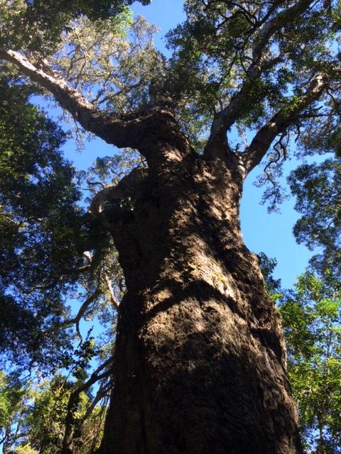 Big Tree, Beautiful, Autumn, Sunday Morning Trip and a Very Big Tree., SA Ventures